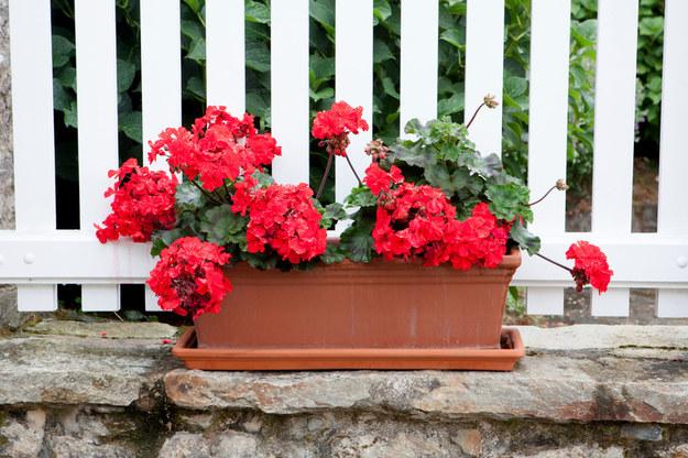 Najpiękniejsze kwiaty balkonowe. Które wybrać?
