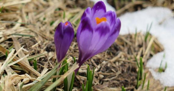Tak ciepłego kwietnia pod Tatrami nie pamiętają nawet najstarsi górale. Nie pamiętają, bo nie mogą. Musieliby żyć znacznie ponad sto lat. Od takiego czasu w Zakopanem prowadzone są pomiary meteorologiczne i do tej pory nie zdarzyło się, by w tym wiosennym miesiącu było aż tak ciepło. To tym bardziej zaskakujące, że w ubiegłym roku o tej porze pod Tatrami sypał śnieg i pod koniec kwietnia leżało go w Zakopanem ponad 20 cm.