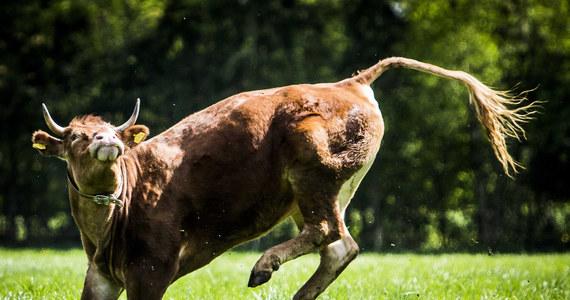 Po dwóch miesiącach na wolności schwytano Hermien – krowę, która uciekła z transportu do rzeźni w Holandii. Krowa zjednała sobie serca internatów i dzięki ich zbiórce pieniędzy do końca życie będzie na emeryturze w ośrodku dla zwierząt.