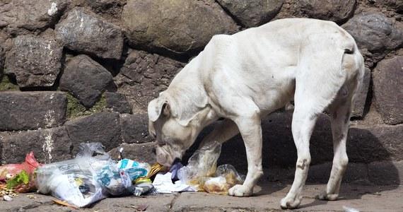 Bezpańskie psy w północnych Indiach w ciągu ostatniego tygodnia zabiły sześcioro dzieci - informuje policja. Wiele młodych ludzi zostało rannych w starciu z nieokiełznanymi zwierzętami.