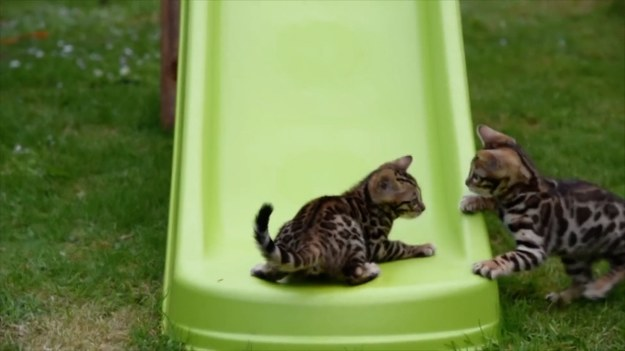 Koty kochają spędzać czas na dworze. Te futrzaki przy każdej możliwej okazji ganiają się po ogrodzie. Dodatkową atrakcją jest dla nich zjeżdżalnia, której używają, jak małe dzieci. (STORYFUL/x-news)