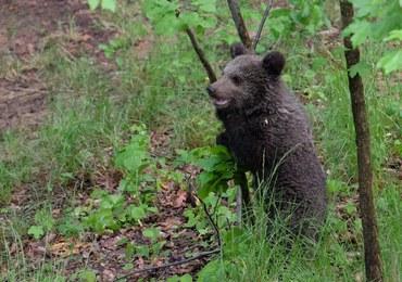 Niedźwiedzie na śmietnikach i cmentarzach. Co robić, by nie narazić się na kontakt z drapieżnikiem?