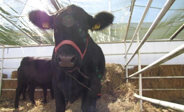 """4500 osób podpisało się pod petycją do Parlamentu Europejskiego o ocalenie bułgarskiej krowy Penki, która nieświadomie naruszyła unijną granicę i według regulacji UE powinna być uśmiercona. Liczba podpisów rośnie - informuje w niedzielę dziennik """"Sega""""."""
