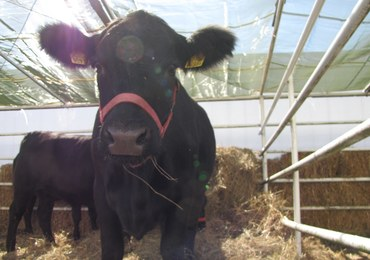 Krowa złamała unijne prawo. Przed śmiercią chcą ją uratować tysiące Europejczyków