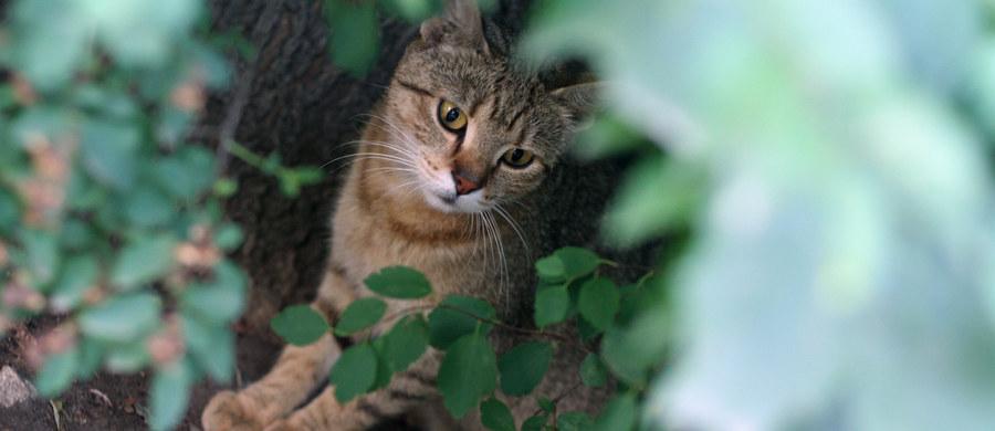 """Po 22 dniach spędzonych w samochodzie koty były odwodnione, głodne i miały oparzenia na opuszkach łap. Mimo tego udało się je uratować. """"Jesteśmy zdruzgotani wieściami o wypadku, który ostatnio przydarzył się przy transporcie zwierząt"""" - napisała w specjalnym oświadczeniu organizacja, która przy transporcie zwierząt zapomniała o części z nich."""