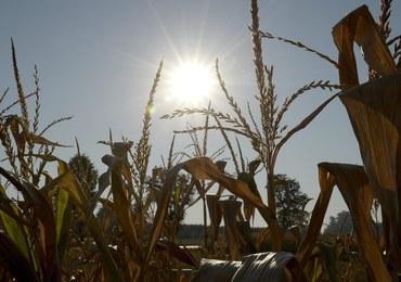 Rolnicy alarmują - susza niszczy uprawy