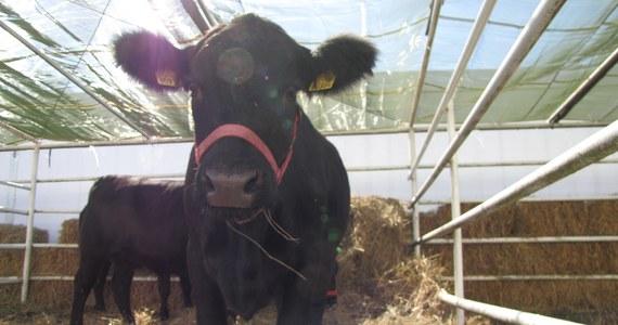 Władze Bułgarii zdecydowały, że krowa Penka, która miała zostać uśmiercona po tym, jak nielegalnie przekroczyła granicę z bułgarsko-serbską, zostanie ocalona - podał Reuters. Tysiące internautów z całej Europy, w tym Paul McCarthney podpisały petycję o ocaleniu bułgarskiej krowy.
