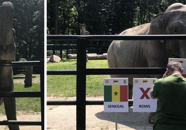 To słonica Citta będzie typować wyniki mundialu!