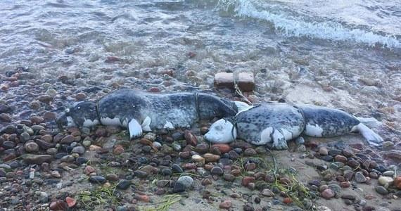 Ruszyły sekcje zwłok fok znalezionych w ostatnich tygodniach na plażach w województwie pomorskim. Specjaliści spróbują wyjaśnić jak zginęły foki szare z południowego Bałtyku. Niewykluczone, że do ich śmierci przyczynił się człowiek.