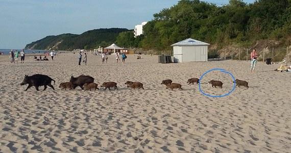 """Dziki na nadmorskich plażach to nad Bałtykiem nie nowość. Ze zwierzętami """"spacerującymi"""" w pobliżu restauracji, budynków, placów zabawa zmaga się m.in. Świnoujście. Tam dziki stały się poniekąd maskotkami turystów. W pobliskich Międzyzdrojach dziki też są mało zdziczałe. O czym przekonuje poniższe zdjęcie!"""
