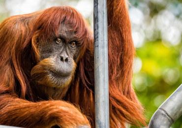 Nie żyje Puan - najstarszy orangutan świata. Miała 62 lata