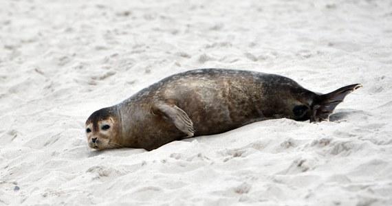 """""""Nie możemy powiedzieć, że wszystkie te zwierzęta zostały zabite przez człowieka. Część faktycznie mogła zginąć w przypadkowym przyłowie. Część też jest z naturalnego padnięcia"""" - mówi w rozmowie z RMF FM Michał Krause z Błękitnego Patrolu WWF. Dlaczego w ostatni weekend znaleziono ich w całej Polsce tak dużo? Czy każdą śmierć zwierzęcia należy wiązać z działalnością człowieka? Czy rybacy mają racje mówiąc, że foki uniemożliwiają im połowy? Przeczytajcie rozmowę z jednym z liderów organizacji, która na bieżąco monitoruje wszelkie przypadki martwych lub chorych zwierząt morskich znajdowanych na plażach."""