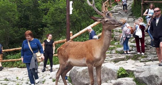 Nową atrakcją Morskiego Oka w Tatrach stał się jeleń, który chodzi między turystami, nic nie robiąc sobie z ich obecności.