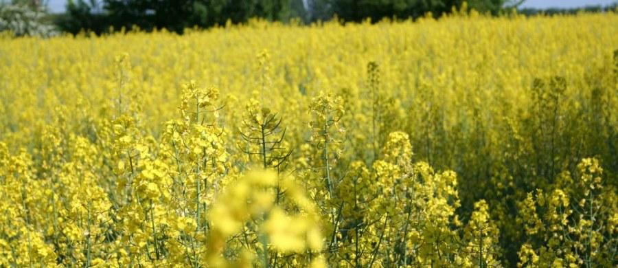 """Cały przyszłoroczny rzepak będzie zabójczy dla pszczół - alarmują ekolodzy. To skutek decyzji ministra rolnictwa, który zezwolił na czasowe stosowanie preparatów szkodzących tym pożytecznym owadom. Chodzi o neonikotynoidy, które od poniedziałku można przez cztery miesiące stosować na uprawach rzepaku. Resort rolnictwa zapewnia, że ryzyko problemów pszczelarzy jest minimalne. Dodaje też, że swoją decyzję konsultował ze związkiem hodowców. Ale szef związku odpowiada, że """"nic takiego nie miało miejsca""""."""