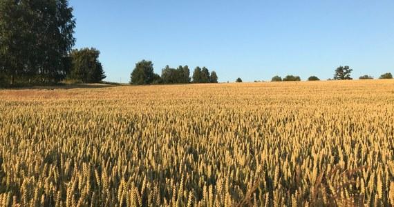 Milion 200 tysięcy hektarów - taka powierzchnia upraw została dotknięta przez susze. Jak ustalili reporterzy RMF FM, poszkodowanych zostało ponad 66 tysięcy gospodarstw rolnych.