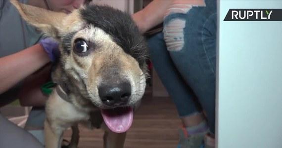 Kiedy pies Reks pierwszy raz trafił do kliniki weterynaryjnej w Wołgogradzie, dawano mu tydzień życia. Połowa jego głowy została oskalpowana. Podejrzewano, że uraz mógł zostać spowodowany zderzeniem z samochodem, jednak ślady ostrego narzędzia wokół rany wskazywały na umyślne działanie człowieka. Czworonogiem zajęła się klinika Awierija oraz wolontariuszka, która na czas leczenia przygarnęła Reksa. Psa udało się odratować, Przeszedł transfuzję krwi, operację plastyczną brakującej części głowy oraz tysiące zmian opatrunków. Teraz Reks czuje się dobrze i czeka na nowy, kochający dom.