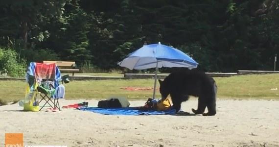 Niedźwiedź odwiedził plażę White Pine w Port Moody w Kanadzie. Szukał pożywienia i zaglądał to toreb przestraszonych plażowiczów, z których część uciekła do wody. Władze uczuliły mieszkańców i turystów, by uważać na to, co zostawia się na wierzchu. Zamiast niedźwiedzia, niejeden odpoczywający się najadł… ale strachu.