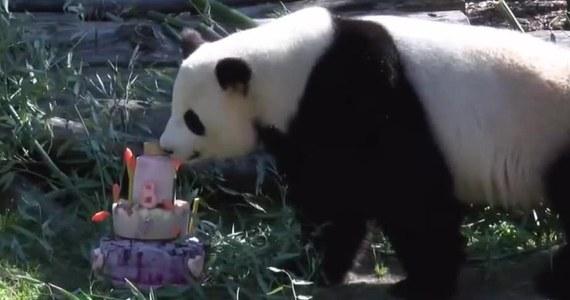 Samica pandy wielkiej Jiao Quing z berlińskiego zoo skończyła osiem lat. W prezencie od swoich opiekunów dostała tort zrobiony z zamrożonych owoców i bambusa. O wiele bardziej od tortu ośmioletnią pandę zainteresowały ustawione na nim świeczki. Jiao Quing mieszka w berlińskim ogrodzie zoologicznym od 2017 roku.