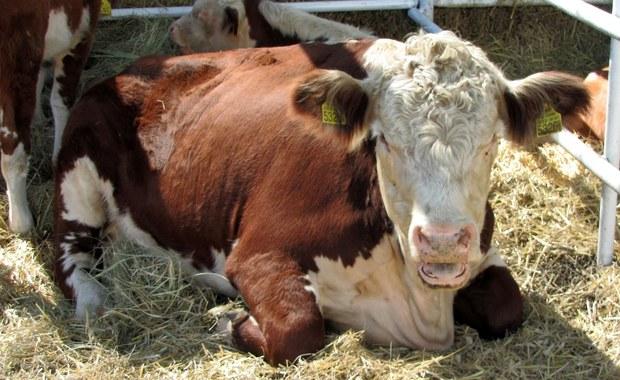 Muzułmanin podejrzany o przemyt krów został pobity na śmierć przez tłum w zachodnich Indiach - poinformowała w sobotę miejscowa policja. Krowy są w Indiach uznawane za święte. Sąd Najwyższy zaapelował do rządu o walkę z powtarzającymi się przypadkami linczów.