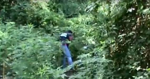 Włoska policja odkryła na południu Kalabrii ogromną uprawę marihuany z 26 tysiącami krzaków konopi indyjskich. Ich wartość handlową oszacowano na 20 mln euro. Uprawa, kontrolowana przez tamtejszą mafię, była nadzorowana za pomocą dronów.