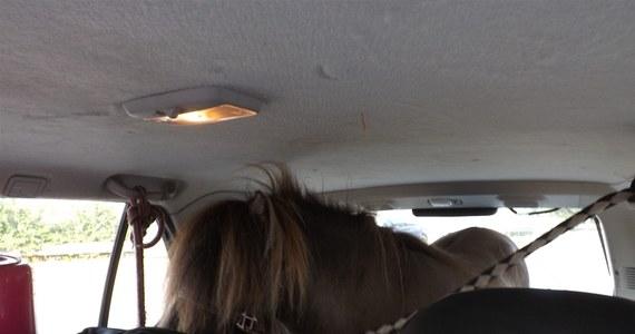 Niemiecka policja autostradowa zatrzymała w okolicy Muenster kierowcę, który przewoził w samochodzie… kucyka szetlandzkiego. Konik podróżował w bagażniku Opla SUV na szwedzkich numerach rejestracyjnych.