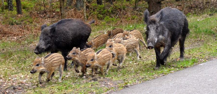 Ministerstwo rolnictwa odchodzi od koncepcji budowy płotu na wschodniej granicy Polski, który miał zatrzymać migrację dzików i tym samym zapobiegać rozprzestrzenianiu się afrykańskiego pomoru świń. Taką informację przekazał minister rolnictwa Jan Krzysztof Ardanowski.