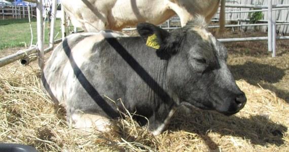 """Niemcy ubijają krowy, bo brakuje paszy. My na razie mamy zapasy, ale wolny rynek i tak się zachwieje. A frytki? Będą krótsze - pisze """"Puls Biznesu""""."""