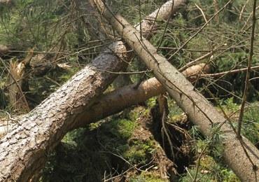 Lubuskie: Zmarł 12-latek przygnieciony przez drzewo