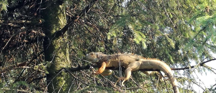 Niecodzienna interwencja strażaków w Chełmie Śląskim. Dostali oni sygnał, że na na drzewie przy ul. Wołodyjowskiego jest duża jaszczurka. Okazało się, że to iguana.