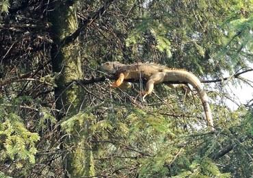 Niecodzienna interwencja strażaków. Na drzewie siedziała egzotyczna jaszczurka