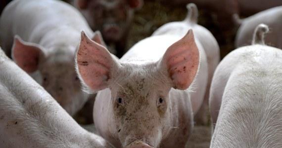 Zapadła decyzja o utworzeniu strefy zagrożenia w związku z wykryciem pierwszego na Podkarpaciu przypadku afrykańskiego pomoru świń w gospodarstwie rolnym - dowiedział się reporter RMF FM Krzysztof Zasada. Po konsultacjach z Komisją Europejską strefa obejmie obszar dwóch i pół gminy w powiecie lubaczowskim.