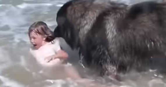 Serca francuskich internautów podbił niezwykle wzruszający i zabawny filmik wakacyjny. Duży pies myśli, że wnuczka jego właścicieli topi się w morzu, bo bawiącą się dziewczynkę zalewają fale – i natychmiast postanawia ją ratować.