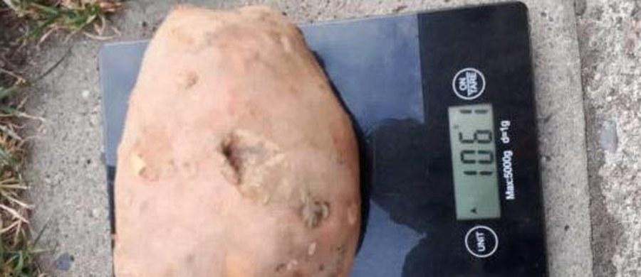 Upalna pogoda przysłużyła się działkowcom. Ci, którzy zadbali o nawodnienie mogą cieszyć się w tym roku rekordowymi okazami. Na Pomorzu Zachodnim można kupić kilogram ziemniaków w... jednym kawałku. U jednego z hodowców w Godzimierzu wyrósł właśnie ponad kilogramowy ziemniak. Jeszcze więcej waży ogórek wyhodowany w Szczecinku.