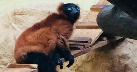 """""""Duchy Madagaskaru"""", czyli lemury wari z łódzkiego Ogrodu Zoologicznego, przeprowadzą się do prawdziwego apartamentu z ogrodem i własnymi wyspami. Będzie to możliwe dzięki głosom łodzian, którzy w ramach Budżetu Obywatelskiego wybrali projekt budowy nowego wybiegu dla zwierzaków."""