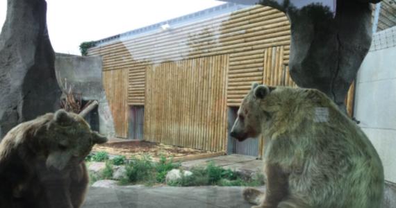 """Afera niedźwiedzicy Kiwi, która grała główną rolę w sławnym francusko-amerykańskim filmie """"Niedźwiadek"""" Jean-Jacquesa Annauda. Internauci wykryli, że zaczęła ona cierpieć na zaburzenia, bo jest od 28 lat zamknięta na niewielkim wybiegu zoo w Dunkierce we Francji. Po fali protestów jej warunki bytowe mają się polepszyć."""