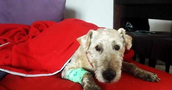 W Dobiegniewie (Lubuskie) policjanci, dzięki sygnałowi od mieszkańców, odnaleźli zaginionego psa. Zwierzę było wycieńczone. Hunter – bo tak się wabi – wrócił do właścicieli i dochodzi do siebie.