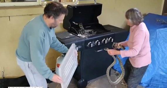 81-letnia Australijka gołymi rękami wyciągnęła dwa pytony, które schowały się w grillu. Kobieta ze stoickim spokojem umieściła je w szczelnie zamkniętym pojemniku.