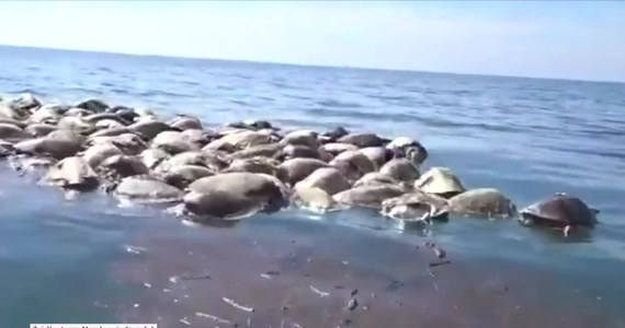 Ponad 300 żółwi oliwkowych dryfowało na wodach Oceanu Spokojnego prawie pięć kilometrów od meksykańskiego wybrzeża. Znaleźli je rybacy ze stanu Oaxaca na południu kraju. Żółwie zaplątane były w sieci, które rybacy zarzucają tam nielegalnie. Śledztwo w tej sprawie prowadzi meksykański prokurator federalny ds. ochrony środowiska. Kilka dni wcześniej rybacy z sąsiedniego regionu Chiapas znaleźli w sieciach ponad 100 martwych żółwi.