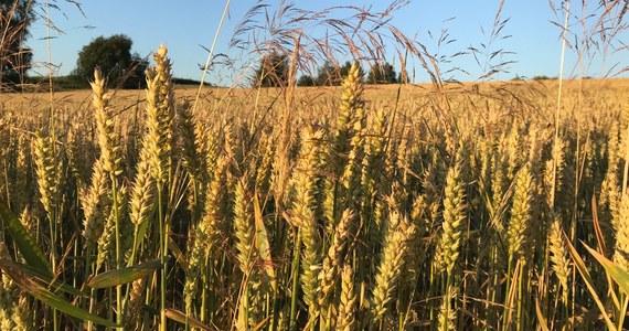 Rolnicy poszkodowani przez suszę niebawem będą mogli starać się o pomoc finansową. Ale nie wszyscy. Potwierdzają się informacje RMF FM - od 14 do 28 września będzie trwał nabór wniosków o pieniądze.