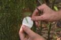 Drzewo z metalicznym mleczkiem lateksowym