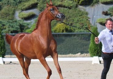 Niezwykły pokaz koni arabskich w Michałowicach