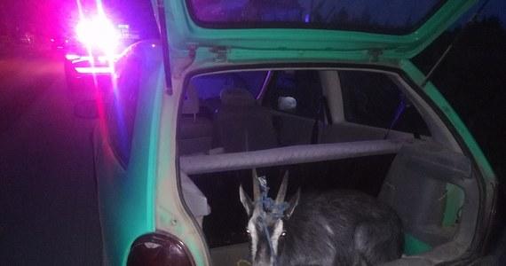 Takiego znaleziska w bagażniku osobowego opla policjanci się nie spodziewali. Za Morągiem w warmińsko-mazurskiem pijany 18-latek przewoził w samochodzie kozę.