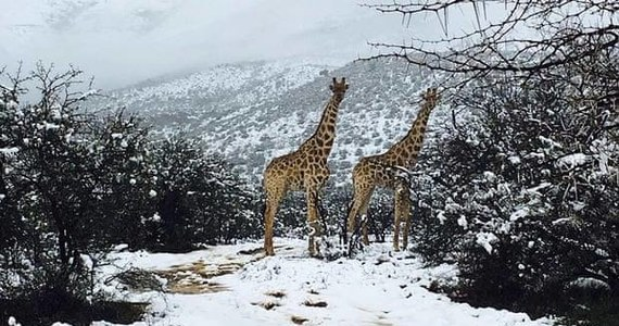 """W miniony weekend w niektórych częściach Republiki Południowej Afryki spadł śnieg - donosi """"The Guardian"""". Na zdjęciach, które szybko obiegły internet, widać zwierzęta cieszące się z chwilowej zmiany pogody."""
