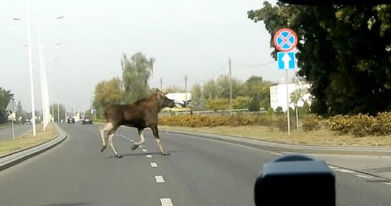 Łoś przebiegł tuż przed policyjnym radiowozem podczas patrolu funkcjonariuszy we Włocławku. Aby zadbać o bezpieczeństwo zwierzęcia i innych kierowców funkcjonariusze spowolnili ruch, dzięki czemu łoś zdążył bezpiecznie przejść na drugą stronę.