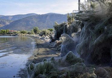 Koszmar osób z arachnofobią. 300 m pajęczyny i miliony pająków na plaży