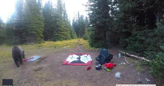 """Turyści, którzy rozbijali namiot w kanadyjskim kanionie Turbine, nie spodziewali się takich gości. Gdy tylko na moment odeszli, do ich obozu podszedł dorosły grizzly i dwa młode. Nadchodzące niedźwiedzie początkowo wyczuł pies, a inni obozowicze pomogli krzykiem odstraszyć zwierzęta. Tę """"niedźwiedzią wizytę"""" uwieczniła kamera."""