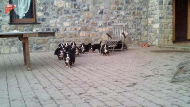 Ilekroć usłyszą cmoknięcie, urocze szczeniaki berneńskiego psa pasterskiego rzucają się na właściciela, uniemożliwiając ruszenie się choćby na krok.