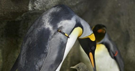 Dwa pingwiny samce, które są parą, uprowadziły pisklę, żeby je wychować jako swoje. Takie niecodzienne zajście zaobserwowali pracownicy ogrodu zoologicznego w Danii.