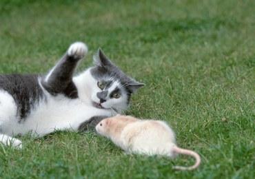 Kot pogromcą szczura? Naukowcy twierdzą, że to mit