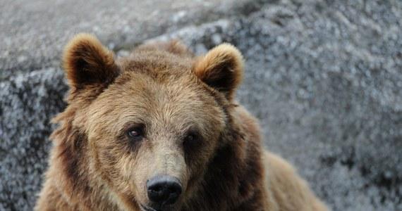 Powoli nadchodzi zima, a to oznacza, że zwierzęta zaczynają przygotowywać się na tę porę roku i intensywnie poszukują jedzenia. W Małopolsce coraz bliżej ludzi podchodzą niedźwiedzie. Świadczy o tym przykład misia, który pokazał się turystom w Rzykach a także historia niedźwiadków z Tatr, które lubią pojawiać się w Zakopanem.